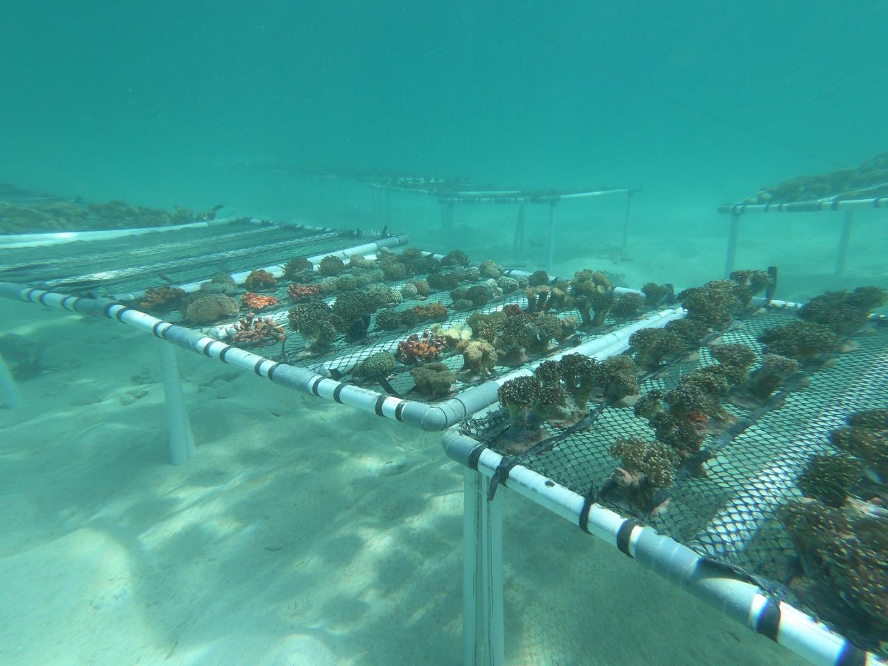 Rehabilitasi Terumbu Karang Merupakan Salah Satu Proyek Strategis Nasional Lumbung Ikan Nasional